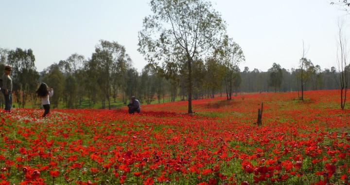 Red Winter Flowers in Israel